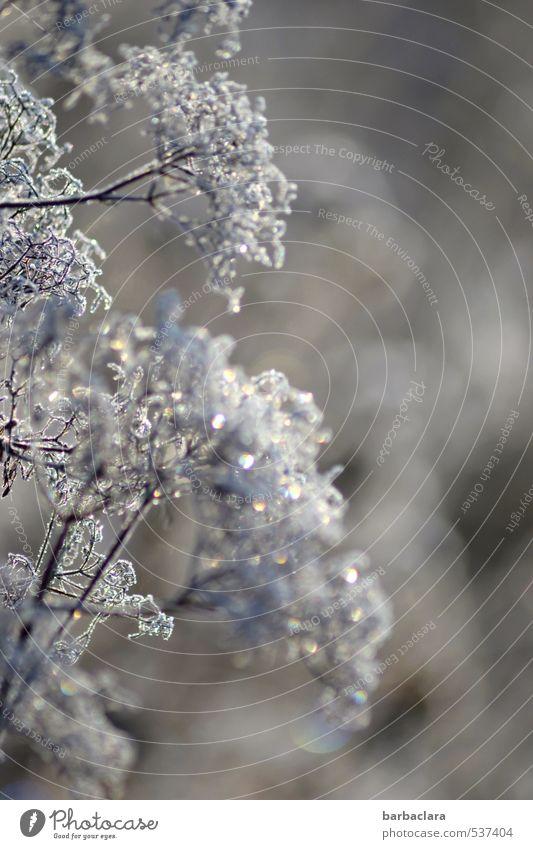 Pflanze im Glitzerkleid Natur Pflanze Freude Winter kalt Umwelt hell Stimmung Eis glänzend Sträucher ästhetisch Wandel & Veränderung Frost silber Sinnesorgane