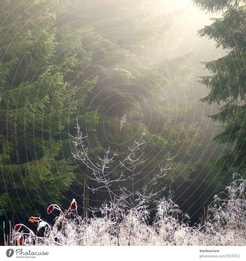 Komm, Sonne, komm! Landschaft Sonnenaufgang Sonnenuntergang Herbst Winter Klima Eis Frost Sträucher Wald leuchten kalt Wärme grün weiß Stimmung Lebensfreude