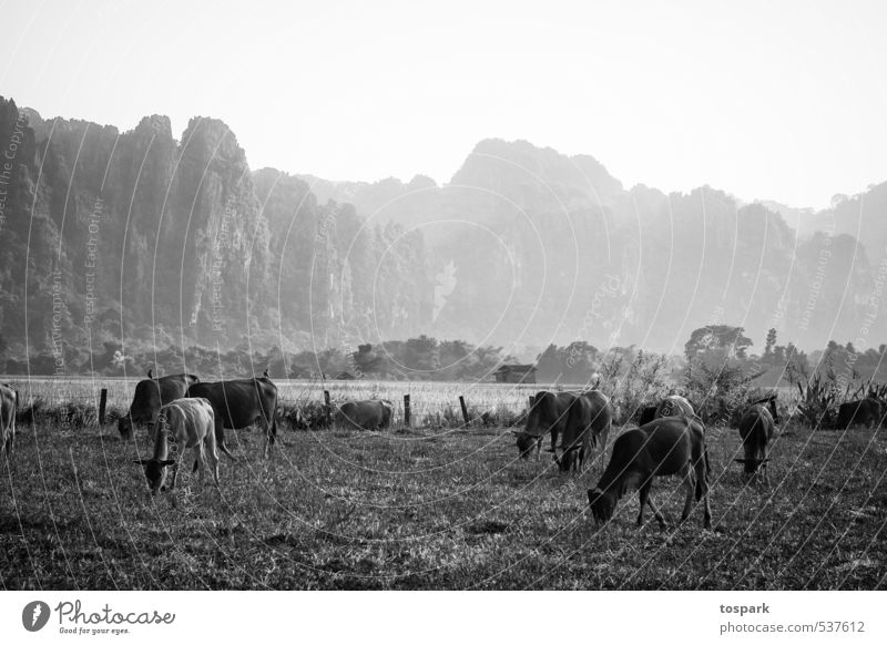 Kühe Ferien & Urlaub & Reisen Abenteuer Ferne Umwelt Natur Landschaft Pflanze Tier Urelemente Weide Vang Vieng Laos Asien Nutztier Kuh Herde beobachten stehen