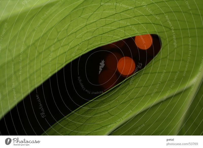 Fensterblatt (Monstera deliciosa) grün Pflanze rot Blatt schwarz Leben Linie Kreis saftig Blattadern unregelmäßig