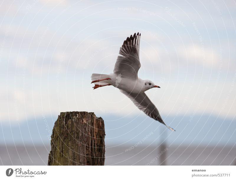 Abflug Ferne Freiheit Umwelt Natur Landschaft Tier Luft Himmel See Vogel Flügel 1 fliegen Blick hoch Geschwindigkeit seemöwe Möwe Feder immenstaad Hafen