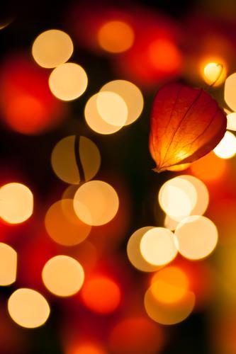 Lampionblumenlicht Natur schön Pflanze Blume dunkel Blüte hell Hintergrundbild orange Frucht leuchten Sträucher Dekoration & Verzierung Warmherzigkeit Kreis