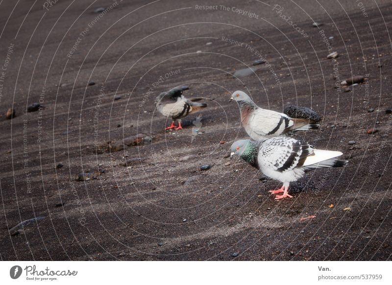 Strandspaziergang Natur Tier Küste Teneriffa Wildtier Vogel Taube 3 grau Sand Farbfoto mehrfarbig Außenaufnahme Menschenleer Textfreiraum links Tag Kontrast