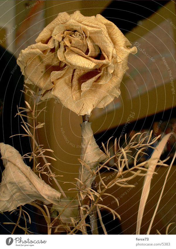 die gelbe rose Blume Blüte Rose Dorn Trockenblume