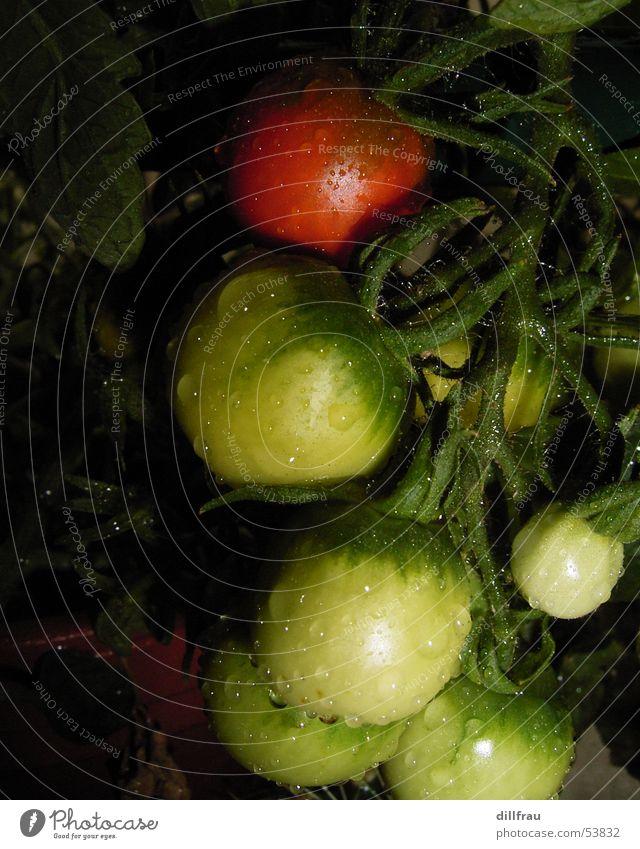 Die Fruehreife Sonne grün rot Sommer Ernährung Wiese Garten Zufriedenheit Gesundheit Frucht rund Gemüse Balkon Tomate Zärtlichkeiten Plantage
