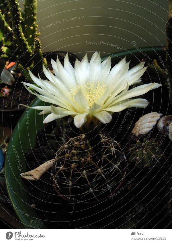 Schoenheit Kommt Von Innen Kaktus Blüte Sommer Blume Stillleben einzeln Blumentopf züchten Sukkulenten Wachstum Natur Stachel schön Blühend Wüste Sand Schmerz
