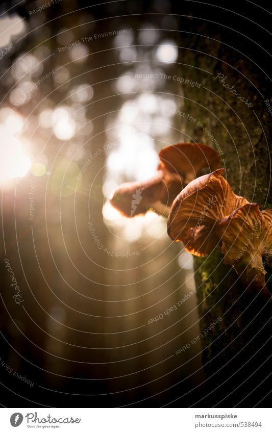 pilzbefall Natur Pflanze Tier Sonnenaufgang Sonnenuntergang Sonnenlicht Herbst Baum Moos Blatt Wildpflanze Pilz Fungi Park Wald leuchten Wachstum hell genießen