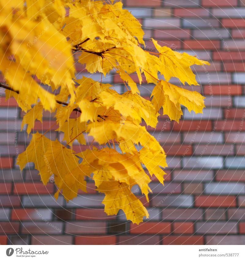Pflanze | in Herbstfarben Natur Schönes Wetter Wind Baum Blatt Kastanie Stadt Haus Mauer Wand Backstein ziegelrot Mauerstein Ziegelbauweise Blühend natürlich