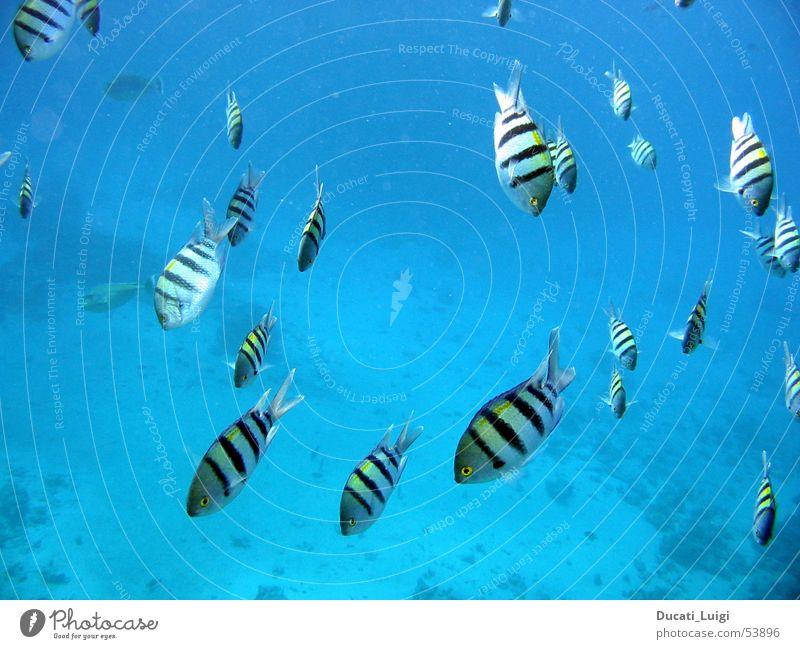 nice guys Fisch Unterwasseraufnahme tauchen Gelassenheit tief Schnorcheln Fischschwarm Rotes Meer