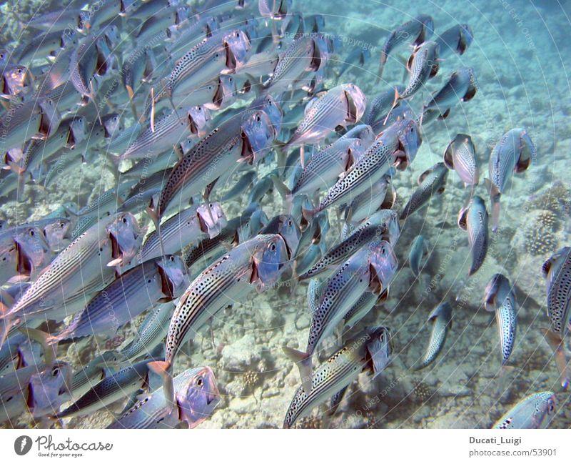 looking for food Kieme Meer tauchen Schnorcheln Unterwasseraufnahme Zusammensein Appetit & Hunger Fisch Schwarm nahrungssuche Rotes Meer Wasser mehrere