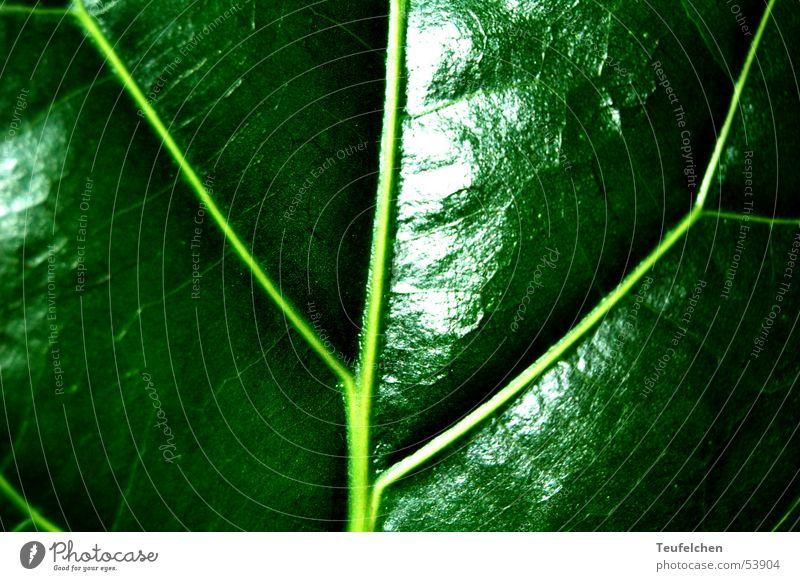 Grüne Phase 2 Blatt grün Photosynthese Pflanze glänzend Gefäße Makroaufnahme Nahaufnahme Lampe