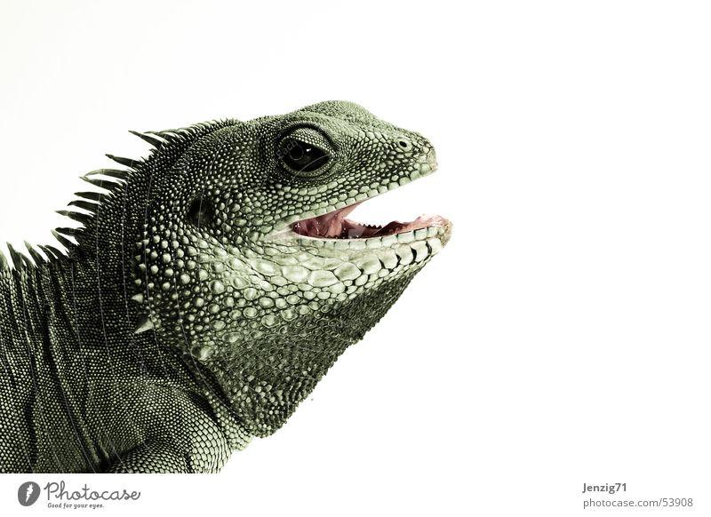 Ich beiß Dich. Agamen Wasseragame Reptil Tier Echsen Echte Eidechsen helge Maul Gebiss Scheune kein leguan
