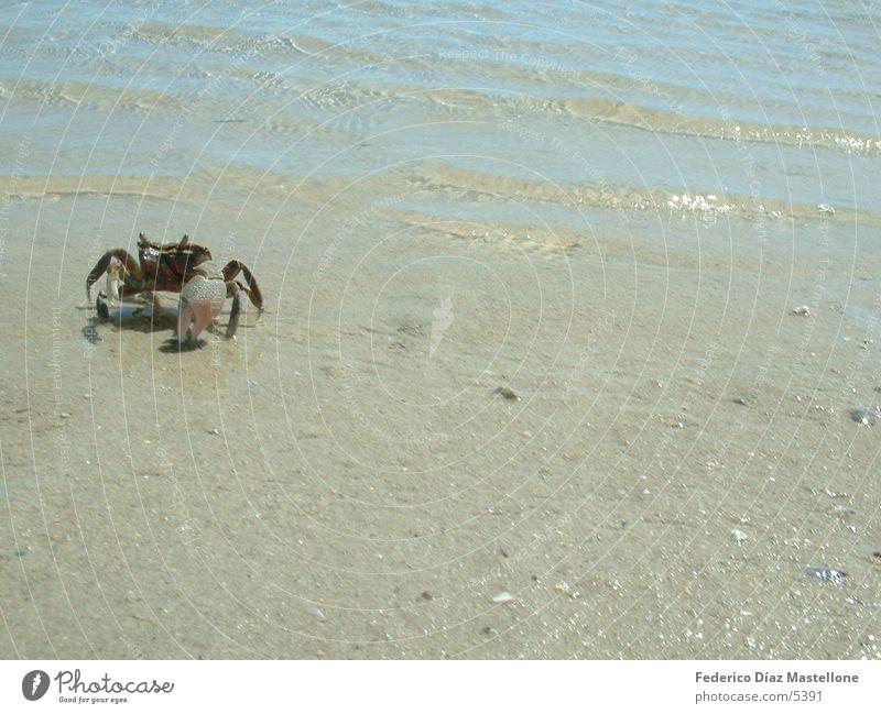 krebs Tier Sand Chile Krebstier Patagonien