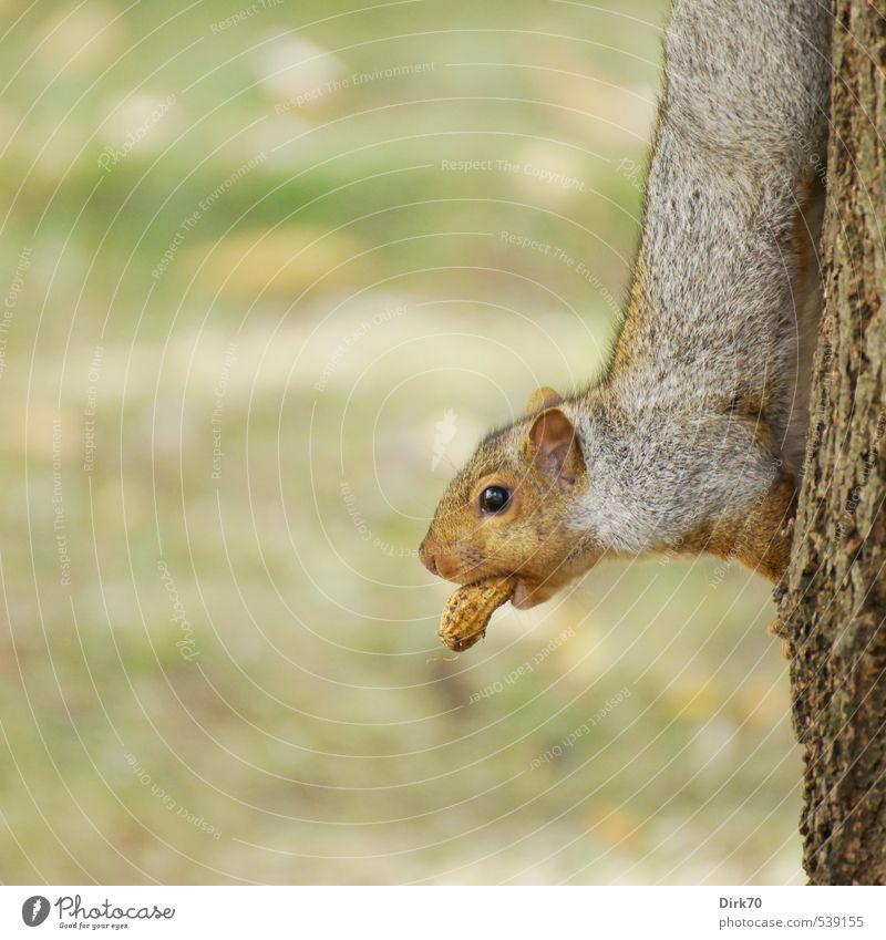 Für den kleinen Hunger mittendrin ... grün Baum rot Tier Wiese Herbst grau braun Lebensmittel Park Wildtier niedlich beobachten Coolness festhalten Klettern