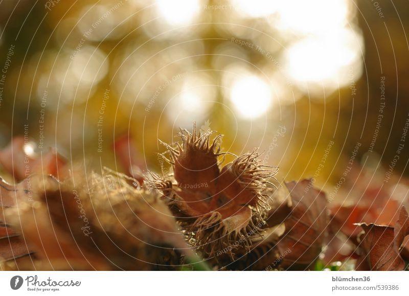 Es war einmal...im Herbst! Natur Pflanze Baum Buche Buchecker braun offen Ernährung Nuss Stachel klein stachelig trocken Blatt Waldboden Baumfrucht essbar leer