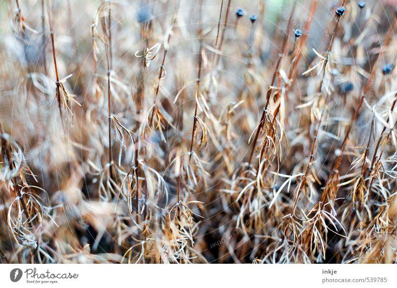 dörr | Pflanze Natur Herbst Dürre Blume Blumenstengel Garten Park dehydrieren alt dünn lang trocken braun Wandel & Veränderung herbstlich Blumenbeet verzweigt