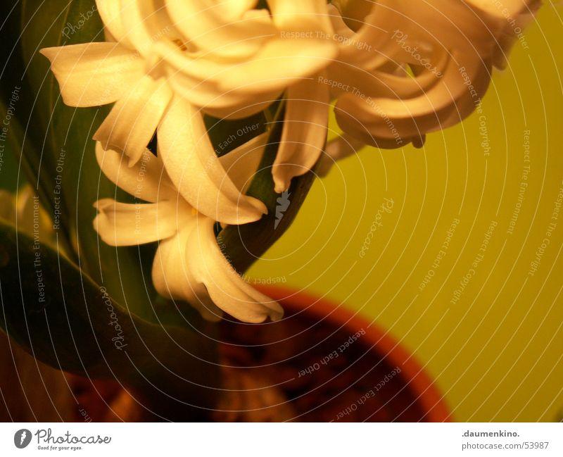...in den Blütenjahren Natur weiß grün Pflanze Blatt dunkel hell braun Erde Lebewesen Topf
