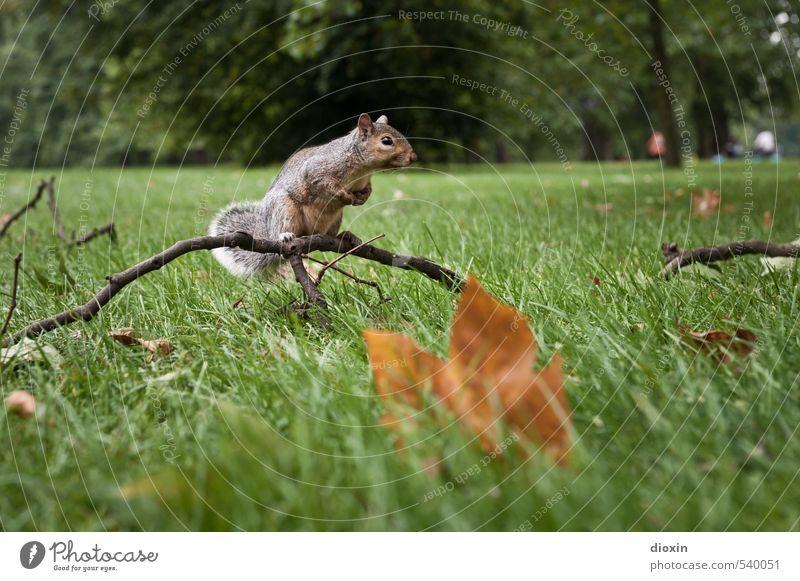 Nuts? Umwelt Natur Pflanze Tier Baum Gras Blatt Ast Park Wiese London England Großbritannien Wildtier Eichhörnchen Nagetiere 1 hocken Blick sitzen kuschlig