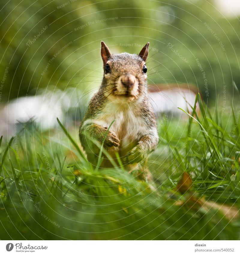 Hyde Park Bekanntschaft Umwelt Natur Baum Gras Wiese Tier Wildtier Tiergesicht Fell Krallen Eichhörnchen Nagetiere 1 hocken Blick kuschlig klein natürlich