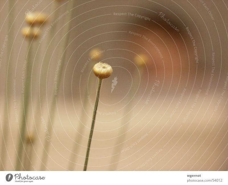 mikadogold Blume Gras Blüte Blütenknospen Unschärfe