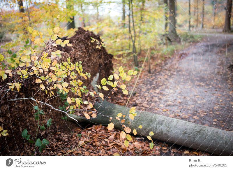 Christian Herbst Klima Klimawandel Wetter Sturm Baum Wald Wege & Pfade fallen Umwelt Zerstörung umgefallen Orkan entwurzelt Buche Blatt Farbfoto Außenaufnahme