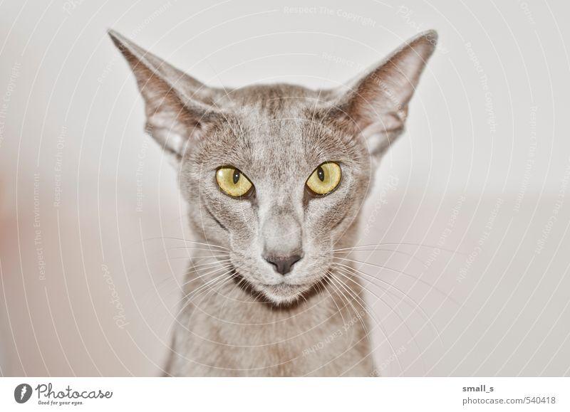 Katze schön Tier gelb grau außergewöhnlich elegant ästhetisch einfach Coolness dünn sportlich Tiergesicht Haustier Willensstärke schleimig