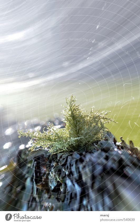 Sturm in der Schneekugel Natur Pflanze Wasser Frühling Sommer Herbst Moos Grünpflanze Bartflechte Bewegung drehen außergewöhnlich fantastisch natürlich grau