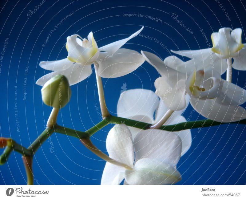 fresh orchid 01 Natur Blume blau Pflanze Sommer springen Stil Blüte Frühling frisch Coolness exotisch Orchidee Verlauf Blumenhändler Händler