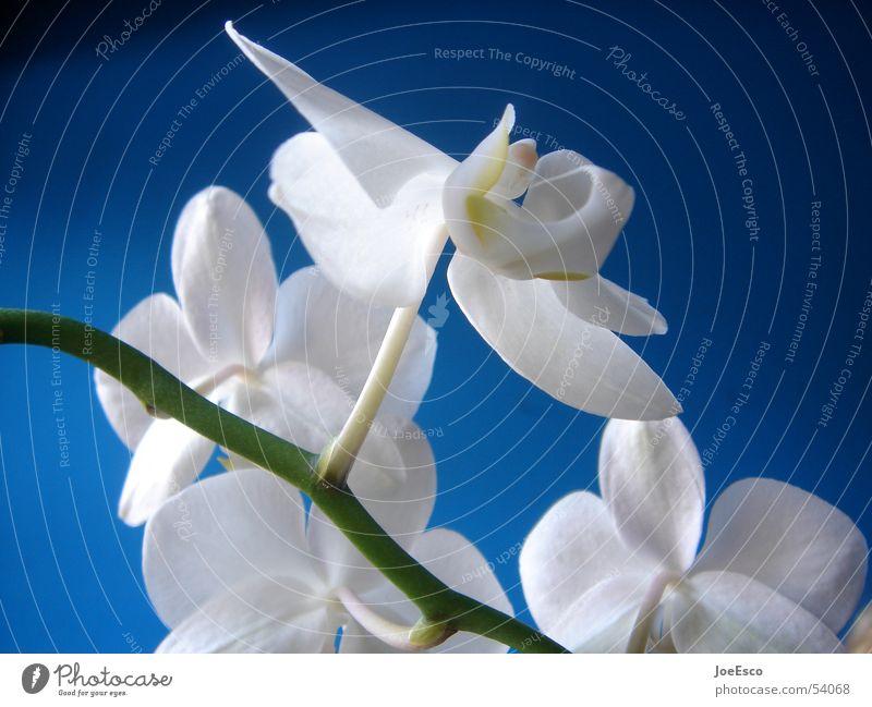 fresh orchid 02 Stil Sommer Natur Frühling Blume Orchidee Blüte springen Coolness frisch blau Verlauf Orchideenblüte Floristik Blumenhändler Blumenladen