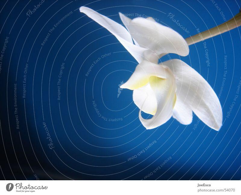 fresh orchid 04 Stil Sommer Natur Pflanze Frühling Blume Orchidee Blüte springen Coolness frisch blau Freude ästhetisch Verlauf Orchideenblüte Floristik