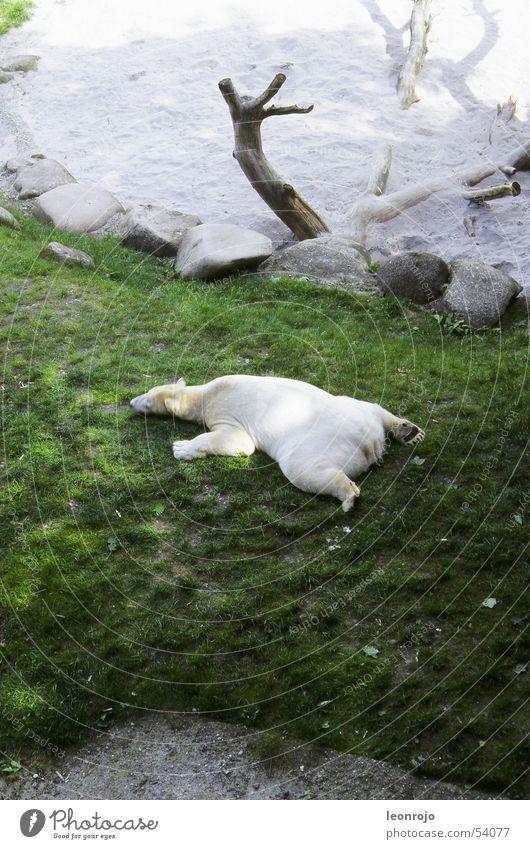 Ein Eisbär auf einer grünen Wiese in seinem Zoogehege faul sein Faulpelz Pause relaxen Baumstumpf faulenzen relaxed Faulheit climate change Klimawandel