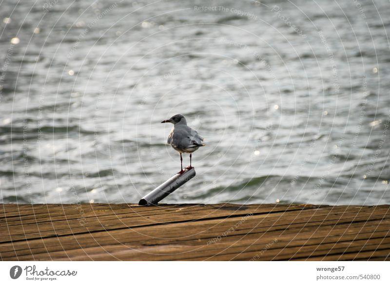Ausguck Wasser Sommer Tier See Vogel Wildtier warten Aussicht beobachten Steg Möwe Anlegestelle Möwenvögel Landeplatz