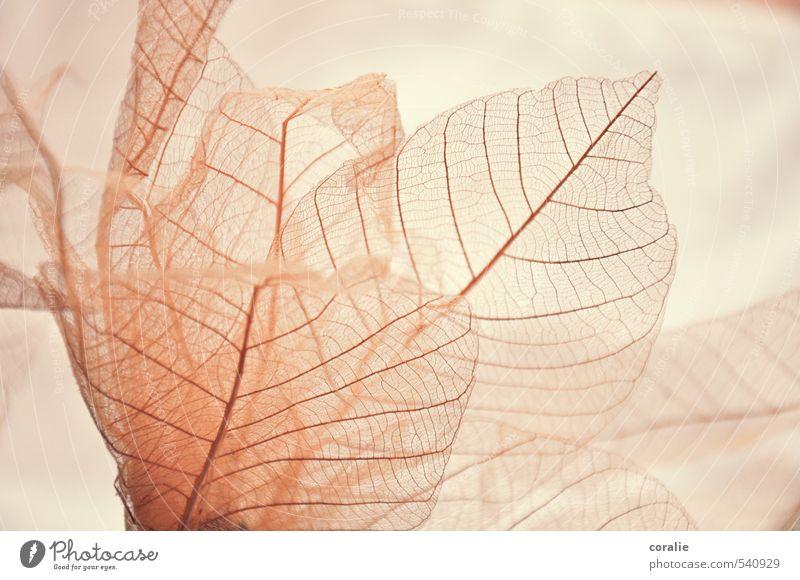 zartbesaitet Natur Pflanze Blatt dünn ästhetisch Kitsch Leichtigkeit Blattadern Strukturen & Formen Ordnung Muster Linie durchsichtig durchscheinend elegant