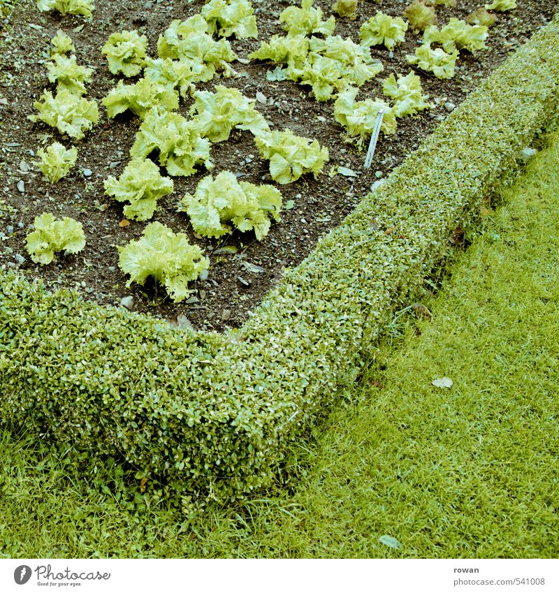 grün Pflanze Grünpflanze Nutzpflanze Garten Gesundheit Salat Gartenarbeit Gärtner Gärtnerei Haken Ernährung Diät Farbfoto Außenaufnahme Textfreiraum rechts