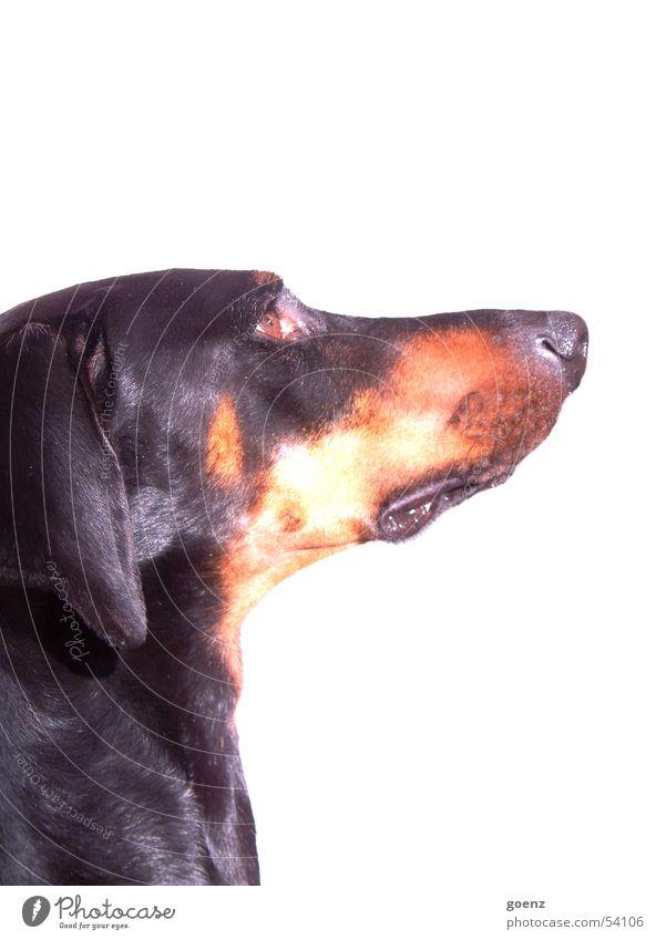 Der Hund Dobermann Hundekopf Fell Blick