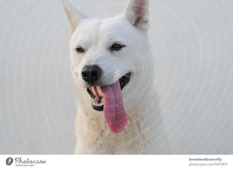 Jindo Hund weiß Tier niedlich Tiergesicht Haustier loyal
