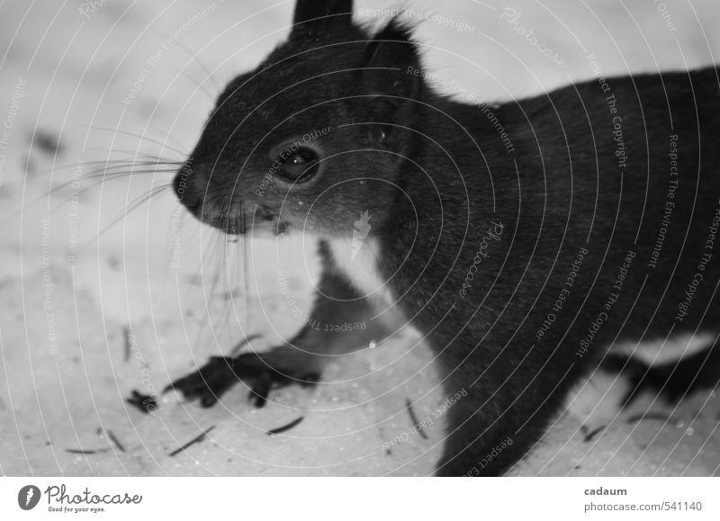 Eichhörnchen Tier Wildtier Tiergesicht Schneefall 1 beobachten Blick authentisch niedlich klug Geschwindigkeit schön wild schwarz weiß Glück Fröhlichkeit