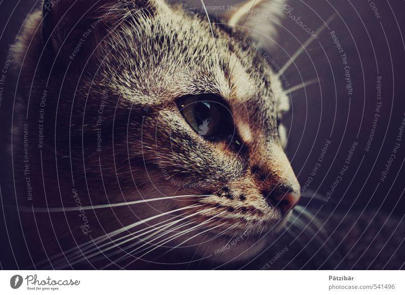 Auf der Pirsch Tier Haustier Katze Tiergesicht 1 beobachten entdecken Jagd Blick braun Mut Hauskatze Gedeckte Farben Tierporträt