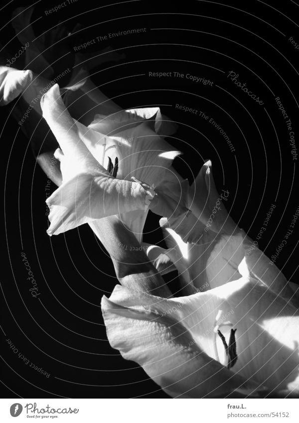 Gladiole in schwarz Natur schön Blume Freude Blüte elegant Dekoration & Verzierung rein edel Lilien Gladiolen