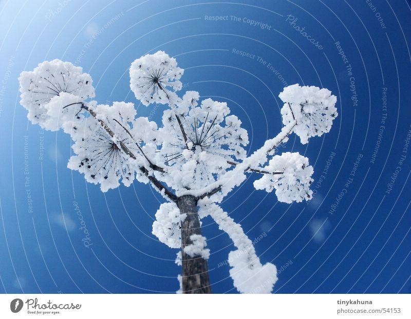Schneeblume blau Wiese weiß Schneeflocke Gras Gewöhnliche Schafgarbe gefroren schön Raureif aufwärts Himmel hell Klarheit Perspektive Frost offen
