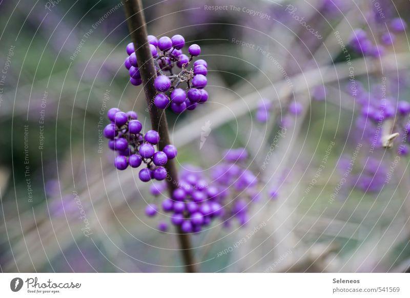 Perlen Umwelt Natur Herbst Winter Pflanze Sträucher Blüte Beeren Beerensträucher Blühend Wachstum natürlich violett Farbfoto Außenaufnahme Nahaufnahme