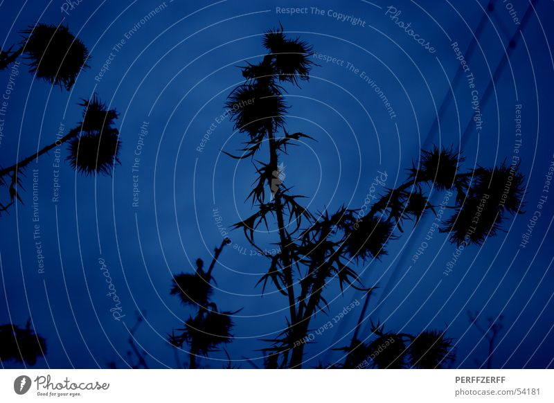 Unkraut vergeht nicht ;-) Himmel blau schwarz dunkel Distel Heilpflanzen