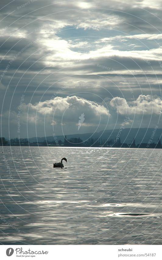 Schwan-en-seen See Stimmung Tier Wolken Licht Wasser Sonne