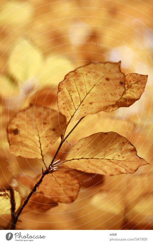 goldige Kuschelgruppe Umwelt Natur Pflanze Herbst Wetter Schönes Wetter Baum Blatt Buche Wald schön Wärme braun gelb orange Oktober Farbfoto Außenaufnahme