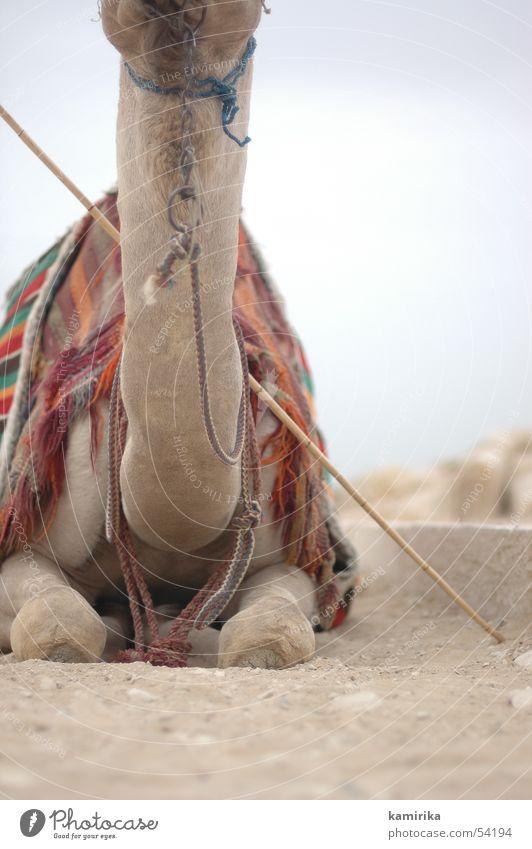 without Sand Stoff Wüste trocken Afrika Hals Tuch Reitsport Ägypten Kamel Zigarettenmarke Dromedar