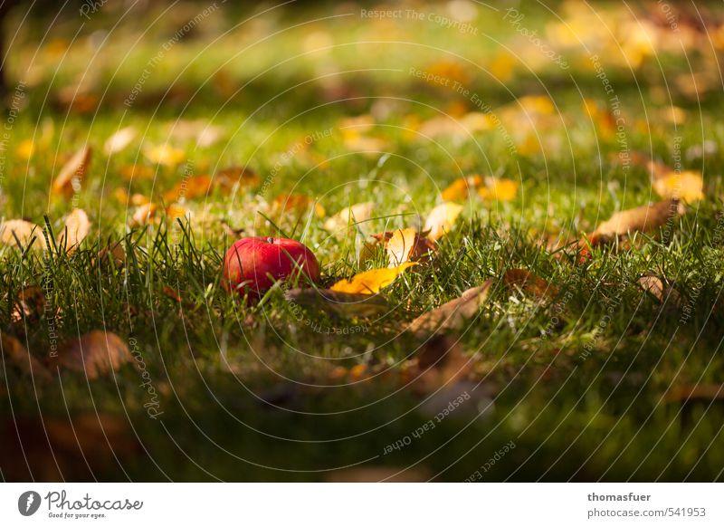 Als Schneewittchen... Lebensmittel Frucht Apfel Picknick Bioprodukte Vegetarische Ernährung Gartenarbeit Erde Sonnenlicht Herbst Schönes Wetter Gras Blatt Wiese