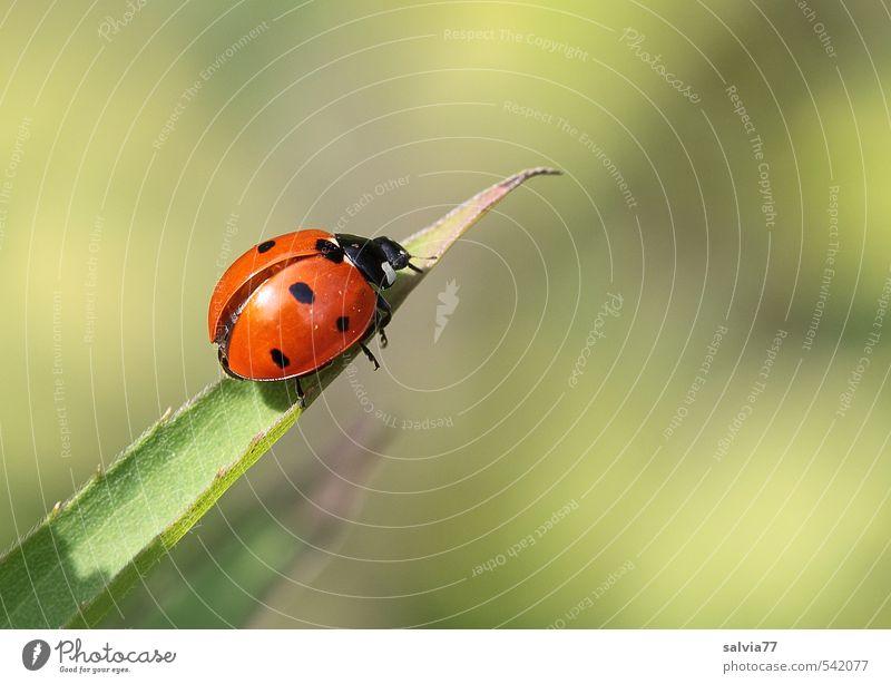 auf der Startrampe Tier Wildtier Käfer Flügel 1 krabbeln frei glänzend klein natürlich niedlich grün orange rot schwarz Frühlingsgefühle ruhig Einsamkeit