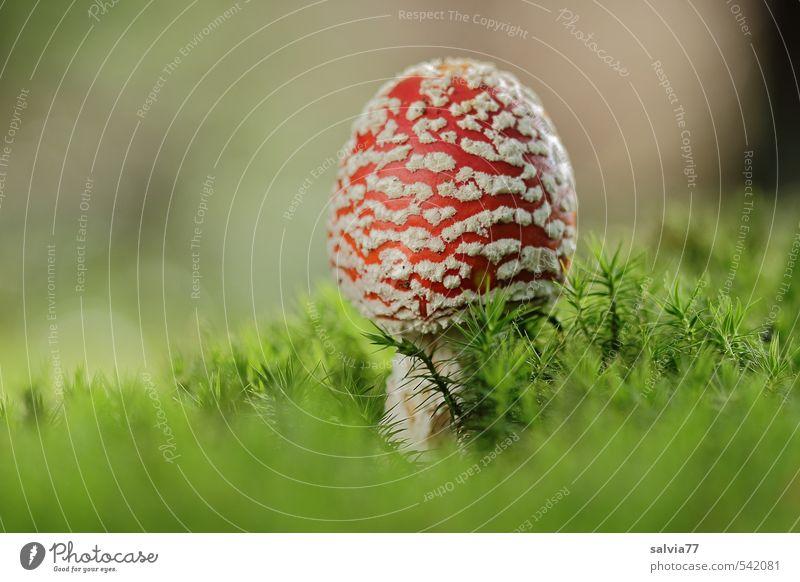 Pilz im Moosbett Umwelt Pflanze Herbst Grünpflanze Wildpflanze Wald stehen Wachstum frisch weich mehrfarbig grün rot Stimmung Sicherheit Geborgenheit ruhig