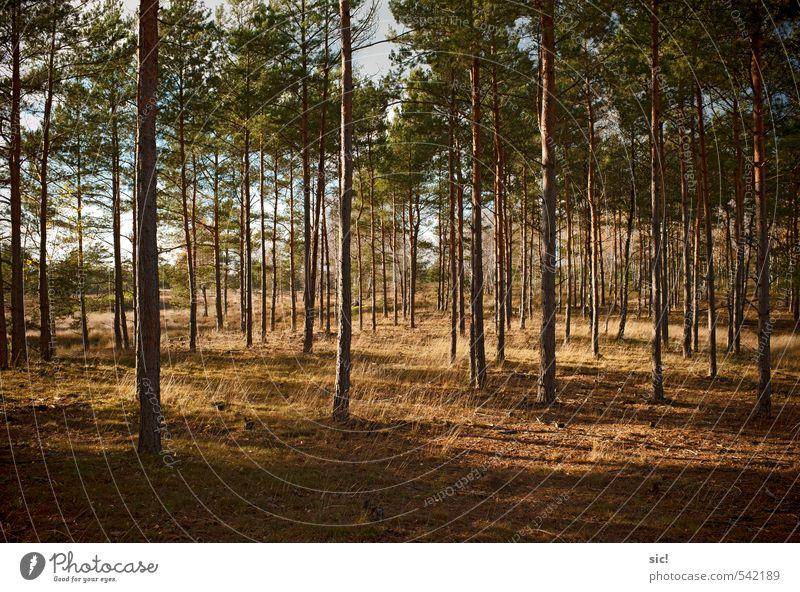 lichter Wald Landwirtschaft Forstwirtschaft Natur Landschaft Herbst Baum Gras Heide Wendland Erholung Jagd wandern trocken braun gelb grün ruhig Einsamkeit