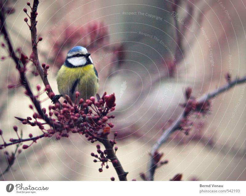 Meise blau grün schön Tier Vogel oben Stadtleben sitzen Ast Stadtzentrum singen Meisen